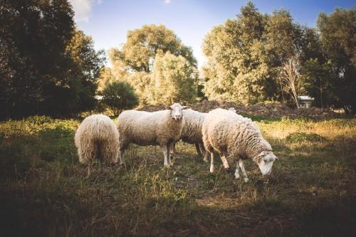 a-small-flock-of-sheep_free_stock_photos_picjumbo_IMG_9429fb8f8610db11c215.jpg
