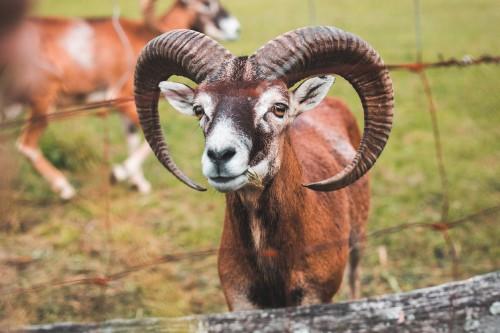 a-goat-with-big-horns-behind-the-fence_free_stock_photos_picjumbo_HNCK5019c6465947cc220ac5.jpg