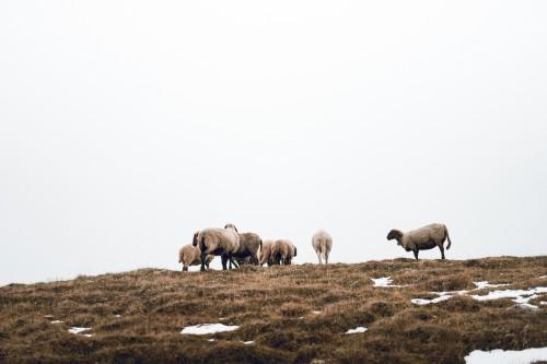 flock-of-sheep-on-foggy-horizon-free-photo-DSC02138762cfe961adfabe5.jpg