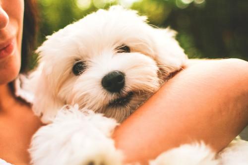 maltese-dog-puppy_free_stock_photos_picjumbo_IMG_98879fb8fb1bea92d523.jpg