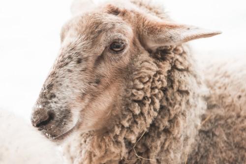sheepd060c4dc145c8423.jpg