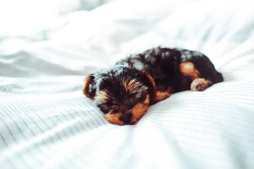sleeping-yorkshire-terrier-puppy95563f313ebf3160.jpg