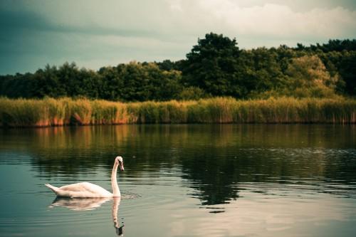 swan-on-the-lake_free_stock_photos_picjumbo_IMG_923164149663acb30a1d.jpg