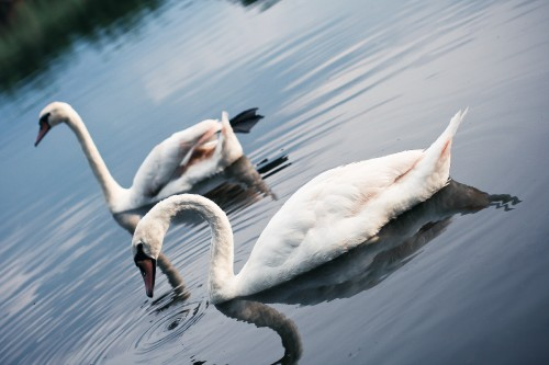 swans-on-the-lake_free_stock_photos_picjumbo_IMG_924677fed95b3eb97aa4.jpg