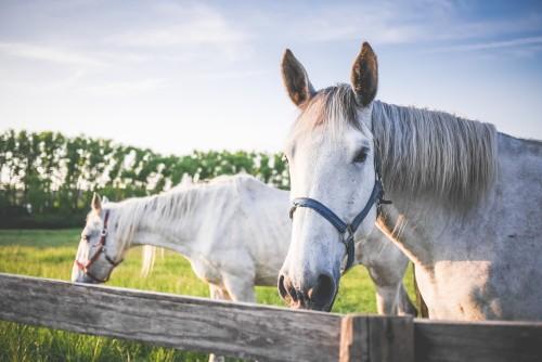 two-white-horses-on-grand-pasture_free_stock_photos_picjumbo_P1020727b5258293b02c3d4c.jpg