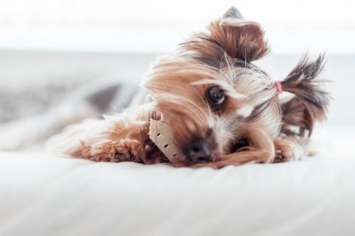 yorkshire-terrier-eating-treats-in-bed-2_free_stock_photos_picjumbo_DSC064541790aa02b17b0ff3.jpg