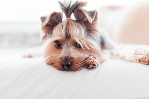 yorkshire-terrier-puppy256515f66de0074d.jpg
