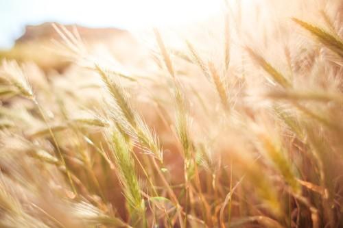 wheat-field-in-sun-close-up_free_stock_photos_picjumbo_HNCK5950fe3f9e16c9754c71.jpg